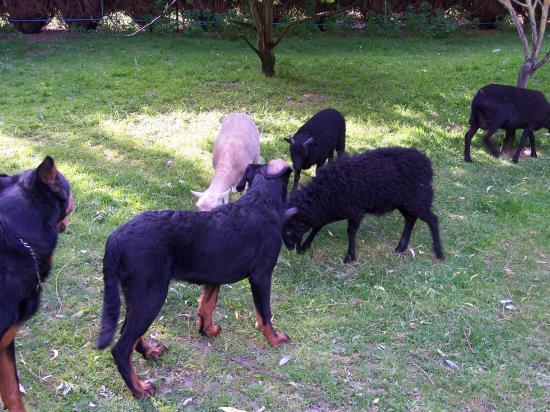 DRISANA et ses moutons